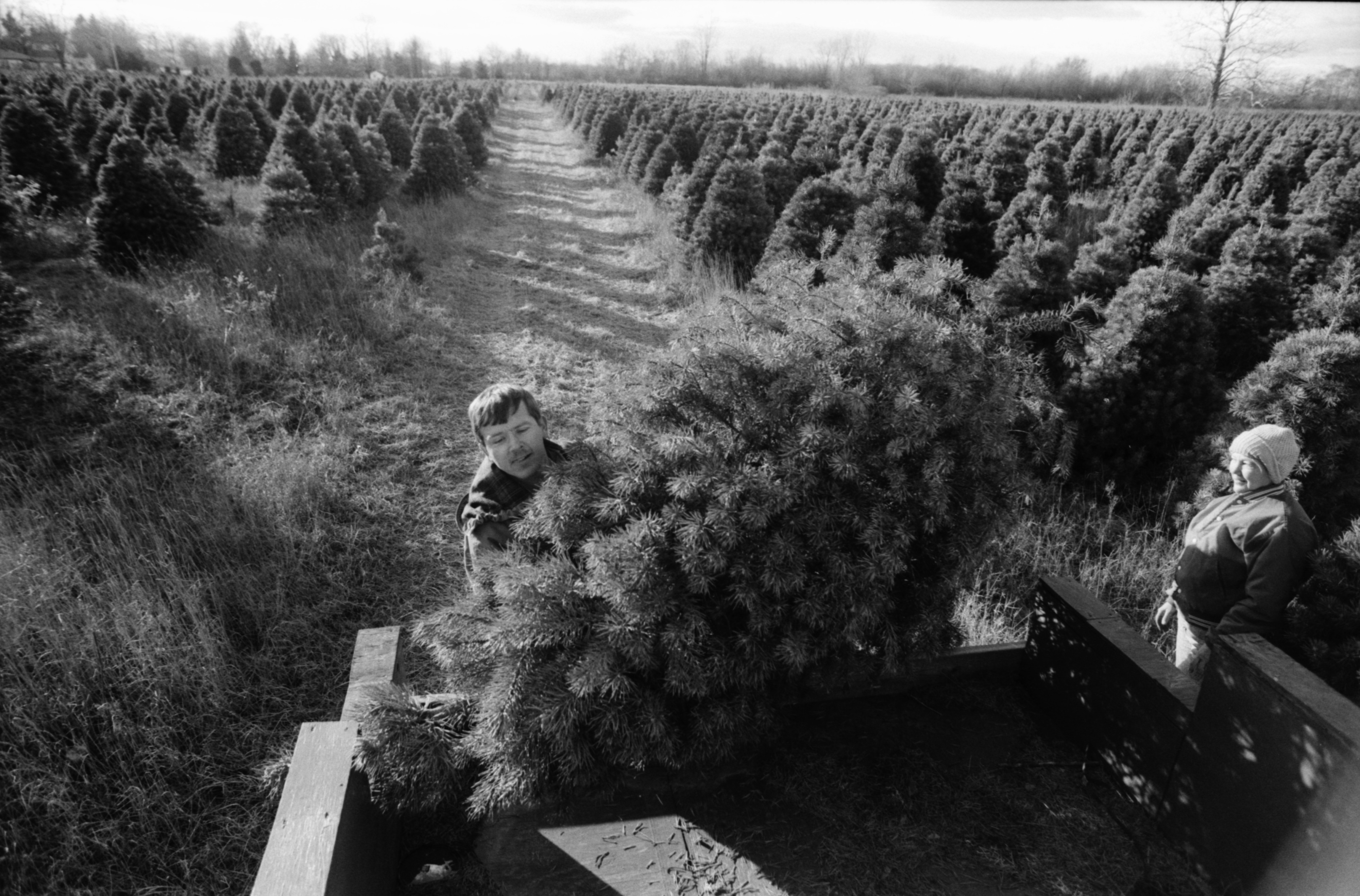 Self-Cut Christmas Trees at Boughans Tree Farm, November 1989 image